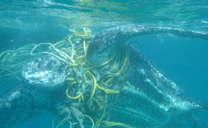 Rùa biển bị mắc vào lưới trên biển