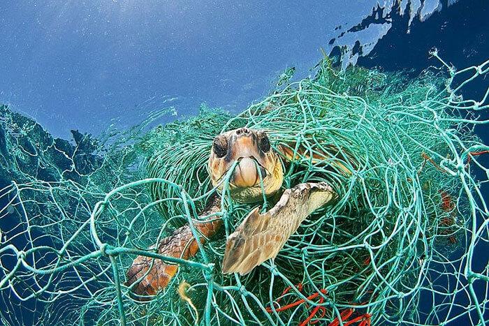 Hình ảnh rùa biển đang mắc kẹt vào lưới đánh cá